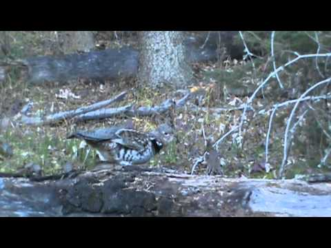 Ruffed Grouse Strutting