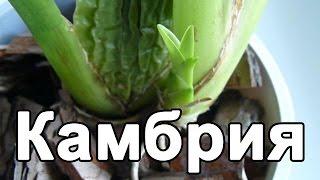Орхидея Камбрия. Пересадка уценки после цветения. Полив и уход.(, 2016-10-29T07:51:21.000Z)