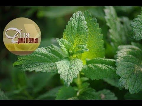 Мелисса – трава мелисса лекарственная / Применение и