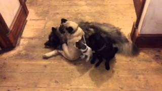 Keeshond Makes Great Sofa For Pugs And Chihuahua