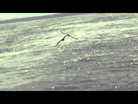 Flesh-footed Shearwaters
