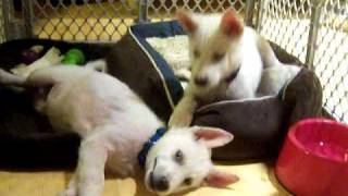 White Siberian Husky Puppies - Rescued In Tenneesse