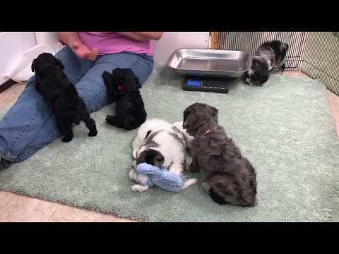 Luna's Schnoodle puppies 7-16-17