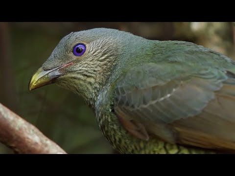 Bird Seduction Techniques - Life Story - BBC