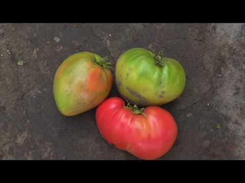 Сорт помидоров ФАТИМА