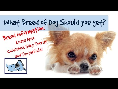 Breed Information - Lhasa Apso, Chihuahua, Silky terrier and Tenterfield Terrier! 🐶 #BREEDVLOG01