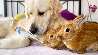 Golden Retriever Dog, Cute Rabbits and Little Budgie - Amazing Pets Friendship!