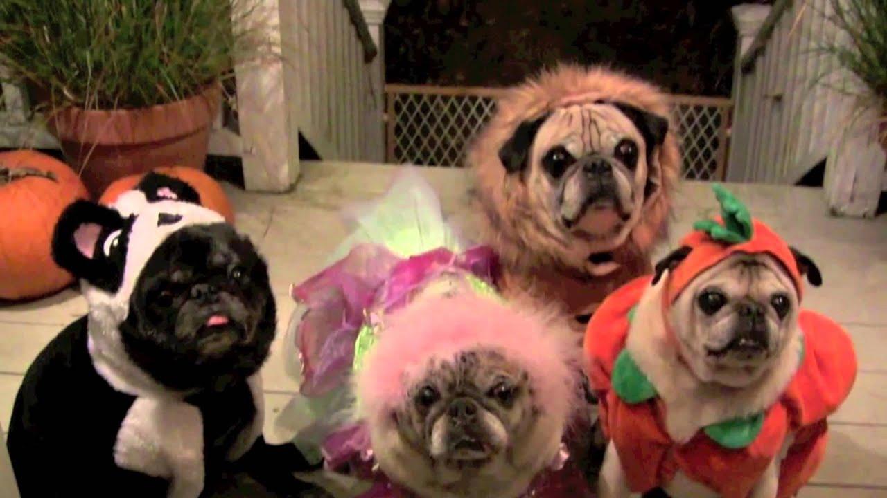 scary halloween pugs youtube - Pugs Halloween