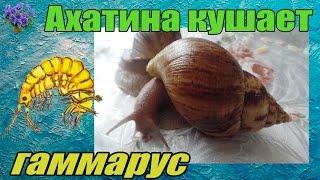 Африканская улитка ахатина   (Achatina immaculata - Ахатина Иммакулята) кушает гамарус