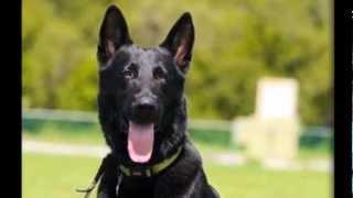 Eddie- Coastal German Shepherd Rescue Oc