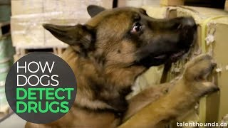 Drug Detection Dogs Amazing!!!!!