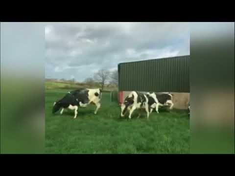 BBC عربية:بي_بي_سي_ترندينغ:  بقرات أيرلندية ترقص بعد خروجها من الحظيرة