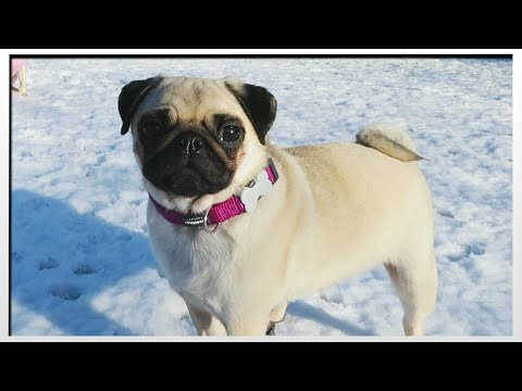 PUGS IN THE SNOW!!