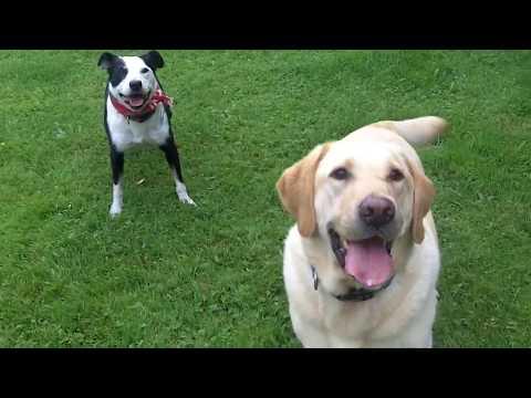 Labrador & Collie Barney & Chelsea.