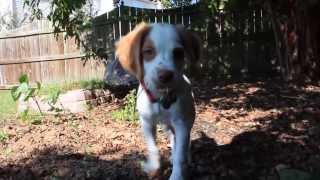 Brittany Spaniel Puppy Having Fun in the Sun (On Top of the World - Imagine Dragons)