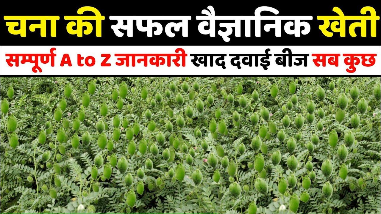 चना की खेती | Chana ki kheti | Dollar chane ki kheti kaise karen | A to Z Video |Advance agriculture