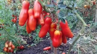 Томат экзот.Длинноплодный томат Забава.