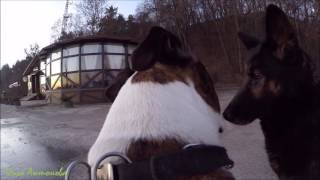Немецкая овчарка, питбуль и амстаффтерьер (GoProHero3+)