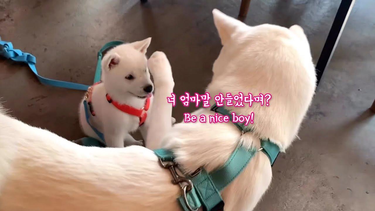 Eng)진돗개와 입양간 새끼 백구가 재회하면 생기는 일💛 서로를 알아봤을까? l Jindodog and Puppy's re-unionㅣ 임보일기 그 후