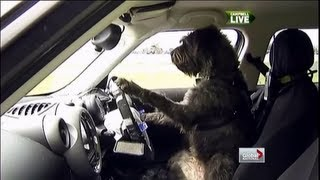Global National - Training Dogs To Drive