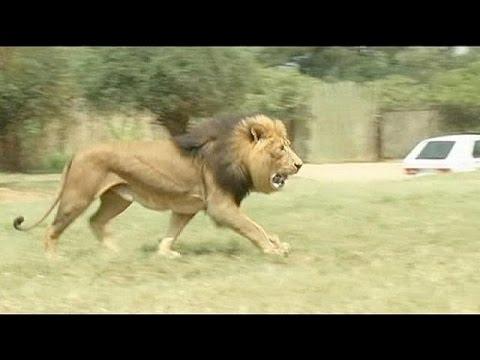 Sudafrica Leone Uccide Turista Americana Youtube