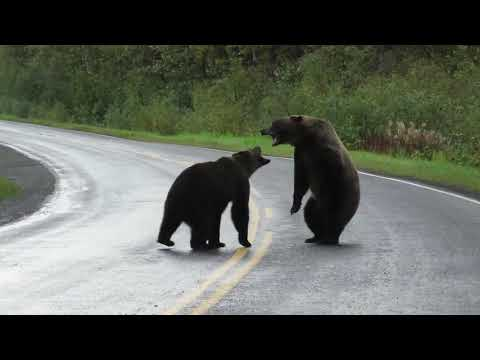 Clint August - Looks A lot Like My Old Roommates In The Back Yard Epic grizzly bear fight!