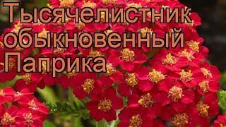 Тысячелистник обыкновенный Паприка (paprika) 🌿 обзор: как сажать, рассада тысячелистника Паприка