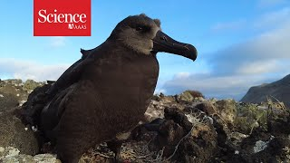 These scientists flew eggs across the ocean to save seabirds from climate change