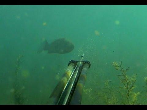 Καθημερινές δόσεις ψαροντουφεκάδικου ευ ζειν #23 Sea bass immigration!