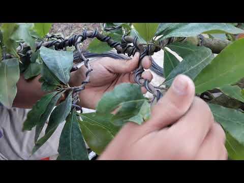 P2: Chia sẻ cách đi dây và uốn cây mai bonsai nghệ thuật cho các bạn yêu thích mai vàng bonsai 🤗🤓
