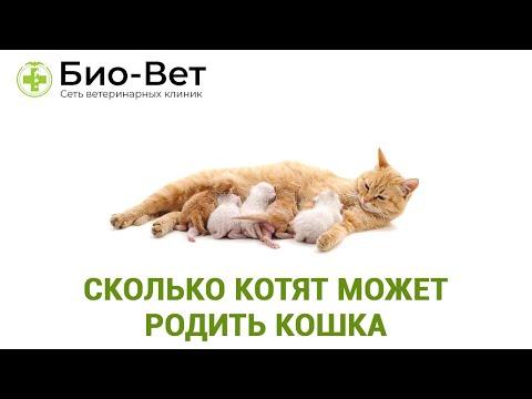 Как понять сколько котят у кошки в животе