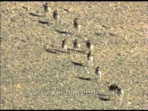 Herd of Tibetan argali in Ladakh