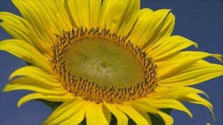 Finding Minnesota: Smude's Sunflowers