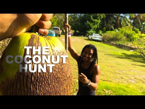 The Coconut Hunt (Picking coconuts in the cayman islands)