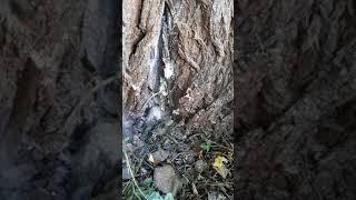 Destruction nid frelons asiatiques tronc d'arbre Cérons (gironde)