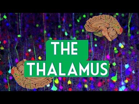 The Thalamus
