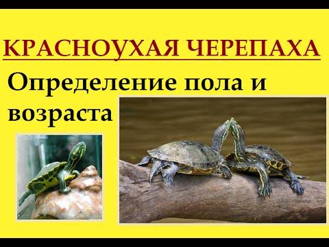 Как отличить самца красноухой черепахи