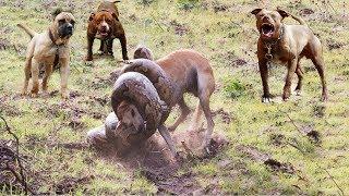 Hero Dog save Friend From Snake Python Hunting   Pitpull vs Python   Animals save another Animals