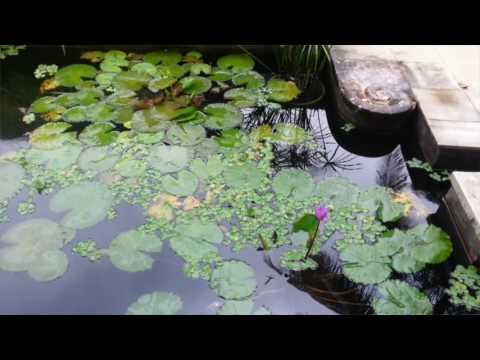 Cara Merawat Kolam dan Tanaman Air Mudah Praktis Murah | TIPS BERKEBUN ORGANIK