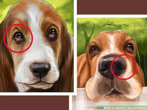 Top 10 Interesting Facts About Basset Hound