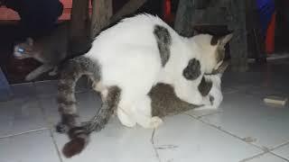 Kucing porno
