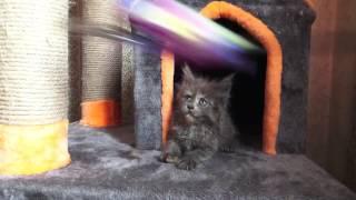ЛИРИКУМ Бу-Бу Булочка 1,5 месяца  - кошечка мейн-кун очаровательная плюшка