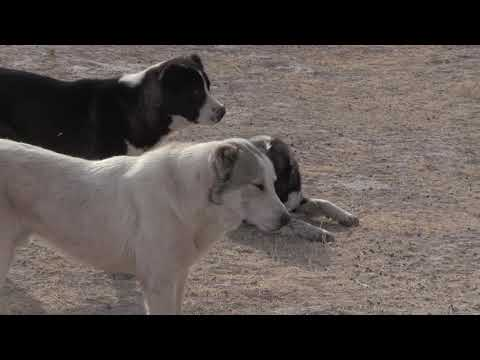 видео: Аборигенные САО Таджикистана   Саги дахмарда из Ромита и Гиссара