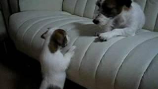 ママの所に行きたい子犬 ブログ すみたにのしっぽ http://sumitani.juge...