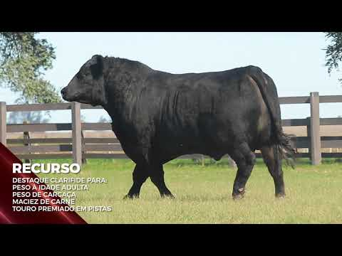Touro Recurso - Aberdeen Angus indicado para IATF - RENASCER BIOTECNOLOGIA VIDEO