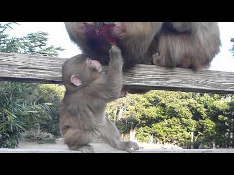 Baby Japanese Macaques in Winter / Awajishima Monkey Center, Japan