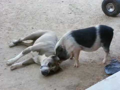 Pig Vs Pit Bull Youtube