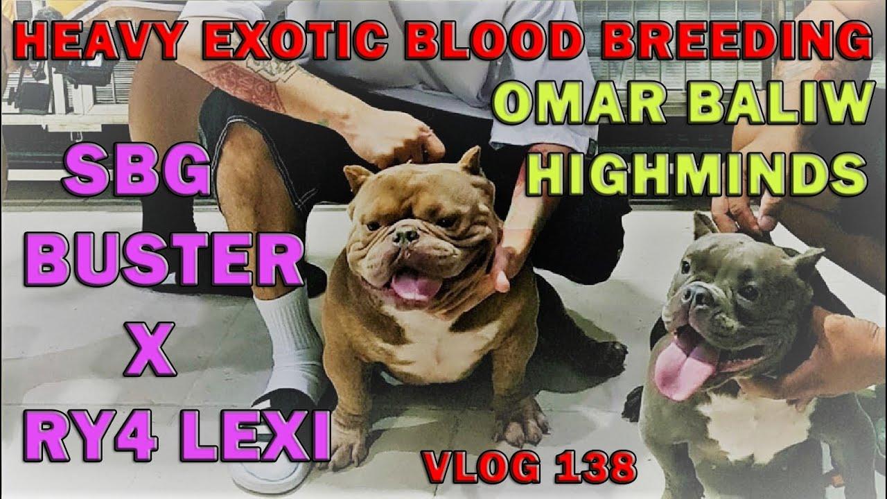HEAVY EXOTIC BREEDING OMAR BALIW STEADY BULLY GANG X RY4 AMERICAN BULLY DOGS | DON RAIDER VLOG 138