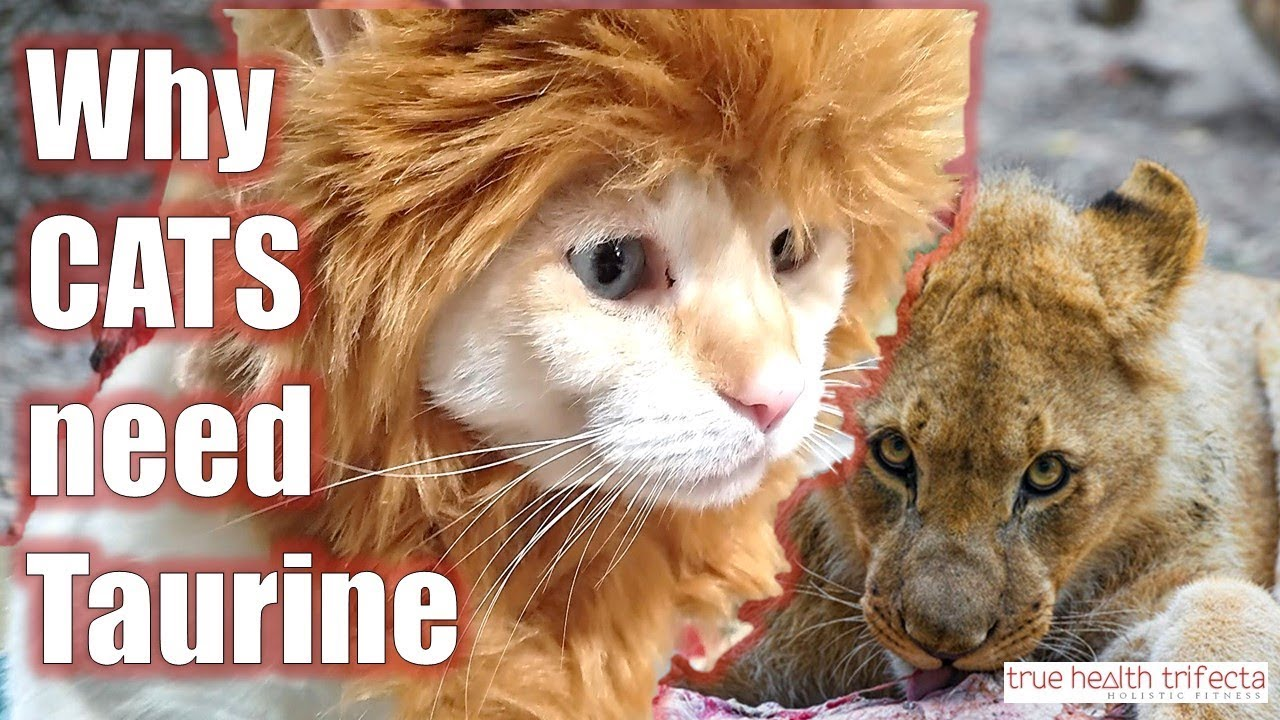 What is taurine and why do cats need it part 1 of 3 raw cat what is taurine and why do cats need it part 1 of 3 raw cat food cat lady fitness forumfinder Choice Image