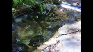 Las tortugas morrocoyo de Antonio (Trachemys dorbignyi)